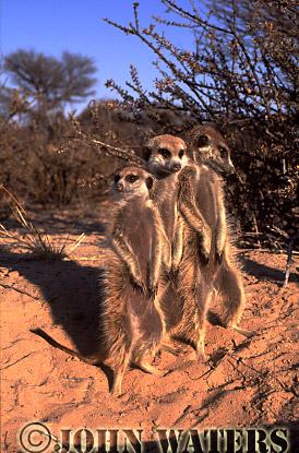Meerkat (Suricata suricatta) : three adults together, standing at attention, basking in morning sun, Kalahari, South Africa