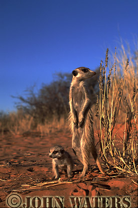 Meerkat (Suricata suricatta) : one adult, standing at attention, on lookout duty, with one juvenile, Kalahari, South Africa