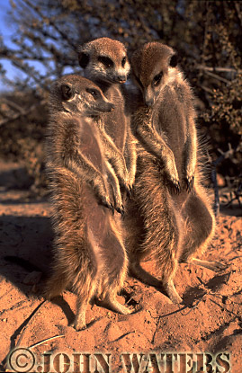 Meerkat (Suricata suricatta) : three adults together, standing at attention, basking in morning sun, Kalahari, South Africa