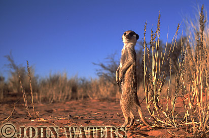 Meerkat (Suricata suricatta) : one adult, standing at attention, on lookout duty, Kalahari, South Africa
