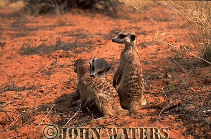 Meerkat (Suricata suricatta) : two adults, grooming and one adult on lookout, Kalahari, South Africa