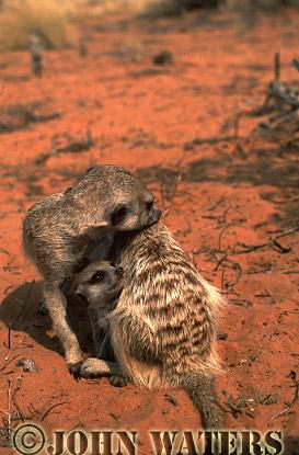 Meerkat (Suricata suricatta) : Two adults and one juvenile grooming, Kalahari, South Africa