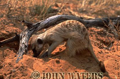 Meerkat (Suricata suricatta) : one adult digging for food in desert, Kalahari, South Africa