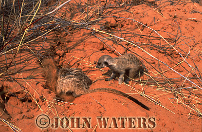 Meerkat (Suricata suricatta) : one adult digging for food in sand, watched by juvenile, Kalahari, South Africa