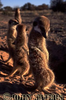 Meerkat (Suricata suricatta) : four adults in row, standing at attention, basking in morning sun, Kalahari, South Africa