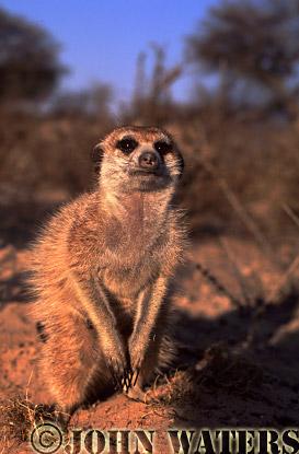 Meerkat (Suricata suricatta) : one adult, crouching, facing camera, Kalahari, South Africa