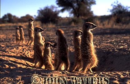 Meerkat (Suricata suricatta) : row of eight, outside burrow, standing at attention, basking in morning sun, Kalahari, South Africa