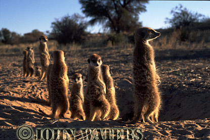 Meerkat (Suricata suricatta) : row of adults, outside burrow, standing at attention, basking in morning sun, Kalahari, South Africa