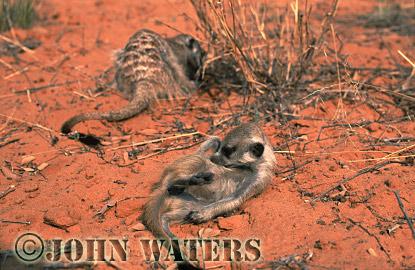 Meerkat (Suricata suricatta) : juvenile lying on sand, grooming, adult behind, digging for food in sand, Kalahari, South Africa