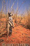 Meerkat (Suricata suricatta) : one adult standing at attention, on lookout duty, Kalahari, South Africa
