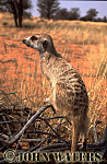 Meerkat (Suricata suricatta) : one adult perched on branch, on lookout duty, Kalahari, South Africa