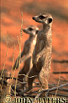 Meerkat (Suricata suricatta) : two adults standing at attention, on lookout duty, Kalahari, South Africa