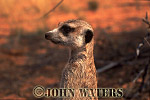 Meerkat (Suricata suricatta) : close up head and shoulders one adult, standing at attention, lookout duty, Kalahari, South Africa
