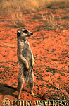 Meerkat (Suricata suricatta) : one adult on ground, standing at attention, on lookout duty, Kalahari, South Africa