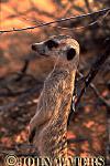 Meerkat (Suricata suricatta) : one adult in shade of bush, standing at attention, on lookout duty, Kalahari, South Africa