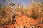 Meerkat (Suricata suricatta) : one on ground, standing at attention, on lookout duty, Kalahari, South Africa