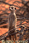 Meerkat (Suricata suricatta) : adult with baby, on ground, standing at attention, on lookout duty, Kalahari, South Africa