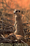 Meerkat (Suricata suricatta) : adult with baby , baby climbing branch, adult standing at attention, on lookout duty, Kalahari, South Africa