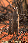 Meerkat (Suricata suricatta) : adult with baby, both on ground, standing at attention, on lookout duty, Kalahari, South Africa