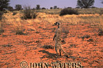 Meerkat (Suricata suricatta) : wide shot in desert, one adult on ground, standing at attention, on lookout duty, Kalahari, South Africa