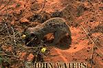 Meerkat (Suricata suricatta) : looking down at one adult, digging for food, Kalahari, South Africa