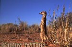 Meerkat (Suricata suricatta) : one adult, standing at attention, on lookout duty, Kalahari, South Africa