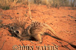Meerkat (Suricata suricatta) : one juvenile, digging for food in sand, Kalahari, South Africa