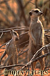 Meerkat (Suricata suricatta) : one adult and one juvenile, standing at attention, on lookout duty, Kalahari, South Africa