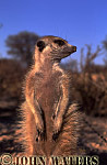 Meerkat (Suricata suricatta) : close up, one adult, standing at attention, facing right, on lookout duty, Kalahari, South Africa