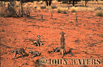 Meerkat (Suricata suricatta) : wide shot, large group, some feeding, some standing at attention, on lookout duty, Kalahari, South Africa