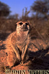 Meerkat (Suricata suricatta) : one adult, crouching, facing camera, Kalahari, South Africa