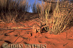 Meerkat (Suricata suricatta) : adult and juvenile, adult looking for food in sand, Kalahari, South Africa