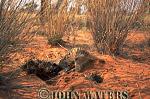 Meerkat (Suricata suricatta) : lone adult, digging for food in sand, Kalahari, South Africa