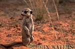 Meerkat (Suricata suricatta) : one juvenile, standing at attention, on lookout duty, Kalahari, South Africa