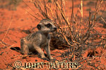 Meerkat (Suricata suricatta) : one juvenile, crouched on sand, next to desert plant, Kalahari, South Africa