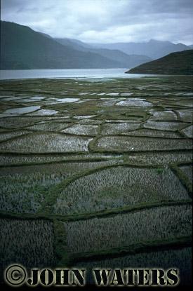 Rice paddies by Phewa Lake, near Pokhara, Nepal, Asia
