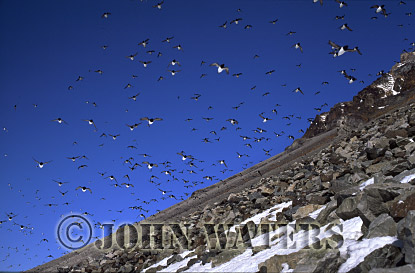 Little Auks or Dovekies (Plautus alle), at nesting site, Svalbard, Norway, Scandanavia, Arctic