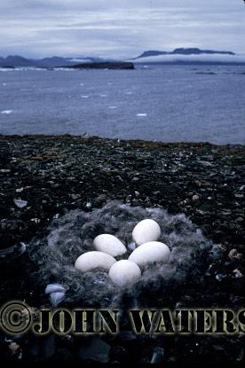 Barnacle Goose Nest, Svalbard, Norway, Scandanavia, Arctic