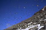 Little Auks or Dovekies (Plautus alle), at nesting site, Svalbard, Norway, Scandanavia, Arctic