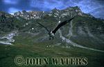 Arctic Skua or Parasitic Jaeger (Stercorarius parasiticus), defending nest site,