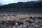 Saxifrage, Bellsund, Svalbard, Norway, Scandanavia, Arctic