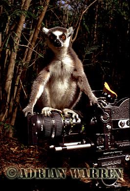 Ring-tailed Lemur (Lemur catta) on Arri-flex 16SRII camera, Berenty, Southern Madagascar