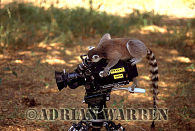 Ring-tailed Lemur (Lemur catta) on Arri-flex 16SRII camera, Berenty, Southern Madagascar