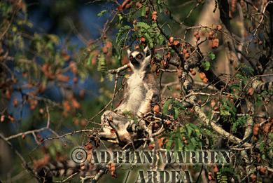 Ring-tailed Lemur (Lemur catta) sunbathing on Tamarind tree, Berenty, Southern Madagascar