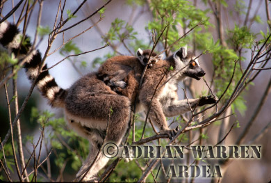 Ring-tailed Lemurs (Lemur catta) mother and infant feeding, Berenty, Southern Madagascar