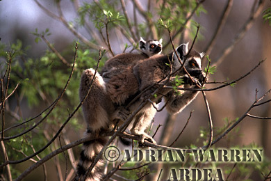 Ring-tailed Lemurs (Lemur catta) mother and baby feeding on young leaves, Berenty, Southern Madagascar