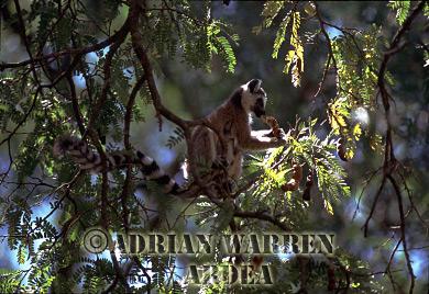 Ring-tailed Lemur (Lemur catta) feeding on Tamarind Pod, Berenty, Southern Madagascar
