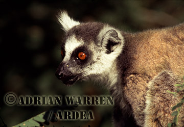 Ring-tailed Lemur (Lemur catta) feeding on Tamarind tree, Berenty, Southern Madagascar