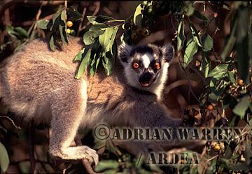 Ring-tailed Lemur (Lemur catta) feeding, Berenty, Southern Madagascar