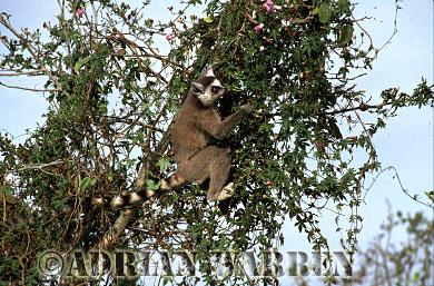 Ring-tailed Lemur (Lemur catta) feeding on tree, Berenty, Southern Madagascar